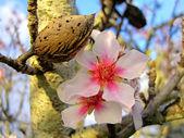 Almonds on the tree — Stock Photo