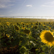 Stock Photo: Irrigation system on sunflower field