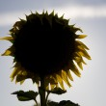 Sunflower silhouette — Stock Photo