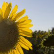 Half sunflower — Stock Photo