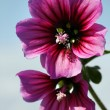 Mallow flowers — Stock Photo