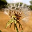Stock Photo: Partial Dandelion