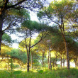 Portuguese pine tree forest - Stock Photo