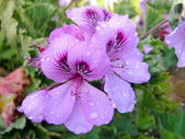 Martha Washington geranium — Stock Photo
