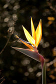 Strelitzia reginae — Stock Photo
