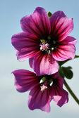 Mallow flowers — Stock Photo