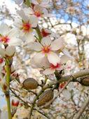 Blossom of almond tree — Stock Photo