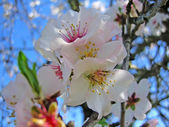 Almond blossom flower — Stock Photo