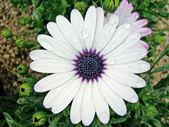 Daisy lua africana — Foto Stock