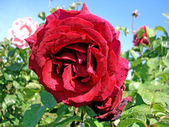 Rose on garden — Stockfoto