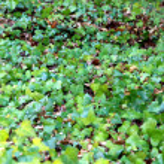 Posion ivy — Stock Photo