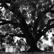 Girl watching the holm oak — Stock Photo