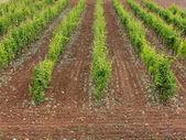 Vineyard view — Stock Photo