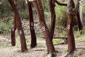 Cork tree markings — Stock Photo