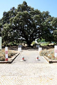 Big holm oak tree — Stock Photo