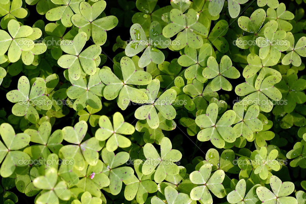 Close view of several clover plants covered with morning dew. — Stock Photo #5250687