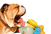 Yawning English bulldog with toys — Stock Photo