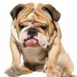 Cute English Bulldog sitting isolated on white background — Stock Photo #5262911