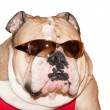 Cute English Bulldog in sunglasses isolated - Stock Photo