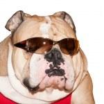 Cute English Bulldog in sunglasses isolated — Stock Photo