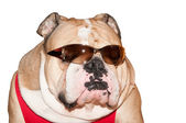 Cute English Bulldog in sunglasses isolated — Stock Photo