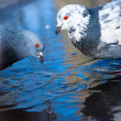 Beautiful pigeons in spring water close up — Stock Photo