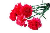 çiçek buketi karanfil izole — Stok fotoğraf