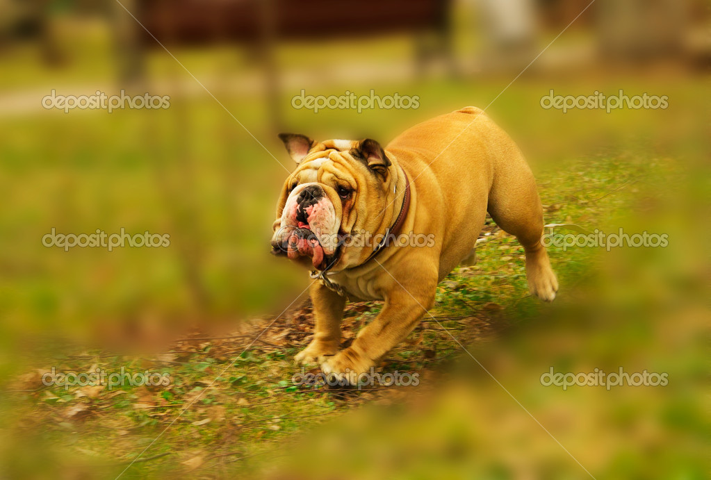 Active English Bulldog running in spring grass — Stock Photo #5343398
