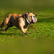 Active English Bulldog running in spring grass — Stock Photo #5350676