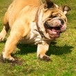 Active cute English Bulldog running in spring grass — Stock Photo