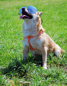 Dog wearing sunglasses — Stock Photo