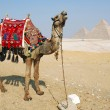 Camels and Pyramids — Stock Photo