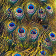 Colourful peacock feather — Stock Photo #5378426