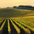 Stock Photo: Vineyard in Chianti region, Tuscany, Italy