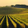 Foto Stock: Vineyard in Chianti region, Tuscany, Italy