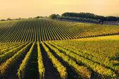 Vinice v chianti regionu, toskánsko, itálie — Stock fotografie