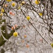 Стоковое фото: Apple trees in winter time