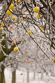 Apple trees in the winter time — Stock Photo