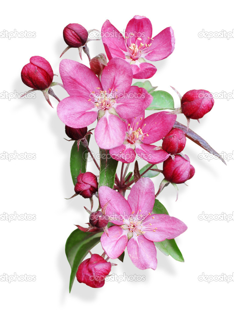 Pink apple blossom isolated — Stock Photo © nemolovskaja ...