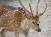 Axis deer - Vienna Zoo — Stock Photo