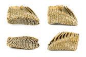 Mammoth tooth — Stock Photo