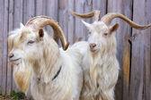 两只山羊 — 图库照片