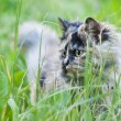 Persian cat on grass - Stock Photo