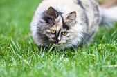Persian cat on grass — Stock Photo