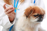 Dog Healthcare: vaccination. — Stock Photo