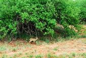 Dik-Dik gazelle — Stock Photo