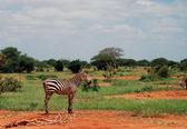 Lonley zebra — Stock Photo