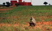 Baboon on the savannah — Stock Photo
