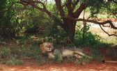 лев отдыхает — Стоковое фото