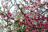 Three trees blooming branches — Stock Photo